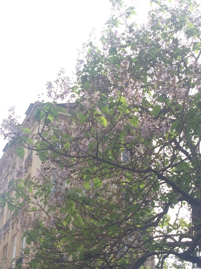 paris-blooming-trees