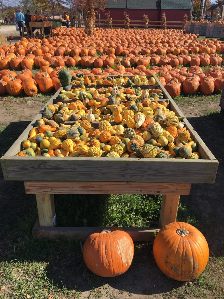 rows-of-pumpkins http://styledamerican.com/apple-orchard-and-pumpkin-patch/